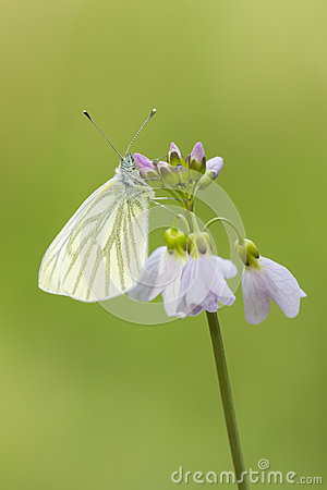 Free Green-veined White Pieris Napi Butterfly Resting And Feeding N Royalty Free Stock Image - 94770536