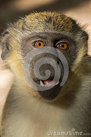 Free Green Vervet Monkeys In Bigilo Forest Park, The Gambia Stock Photo - 107068340