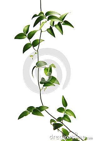 Green vine