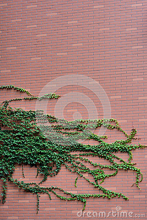 Green vine plant attached on red wall