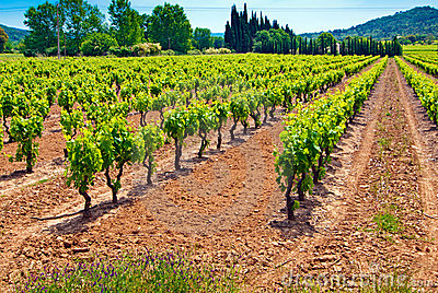 Green Vineyard In the south of France