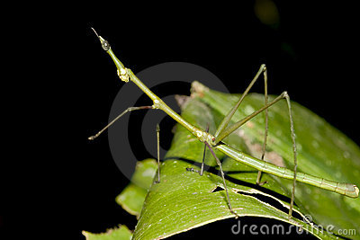 Green Walkingstick - Ecuador