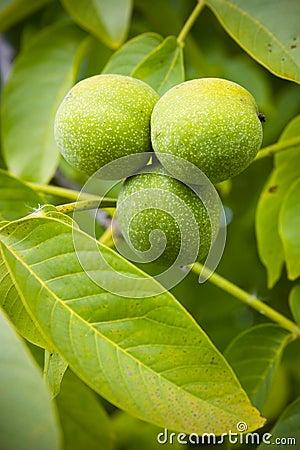 Free Green Walnuts Royalty Free Stock Image - 1287996