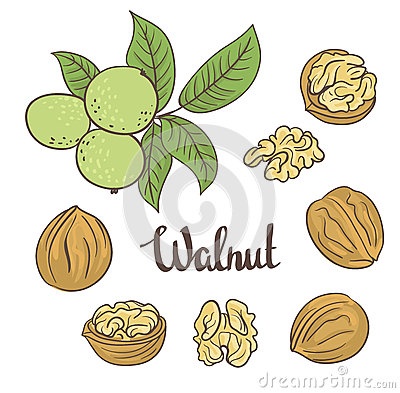 Green walnuts with leaves and dried walnuts isolated on a white background Vector Illustration