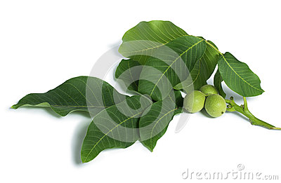 Green walnuts and leaves