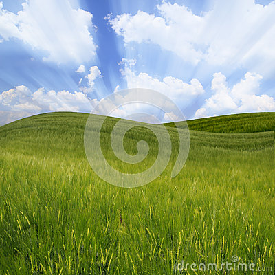 Green wavy wheat field