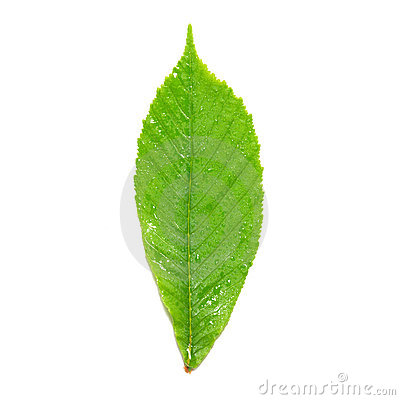 Green wet chestnut leaf.
