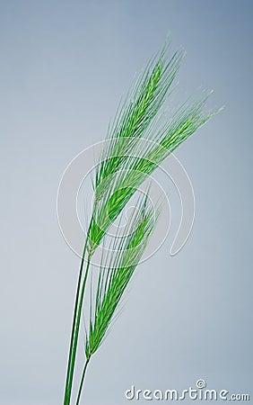 Free Green Wheat Stock Photo - 147500
