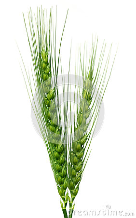 Free Green Wheat Stock Images - 50563054