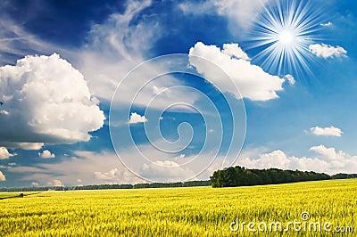 Green wheat and beautiful blue sky.