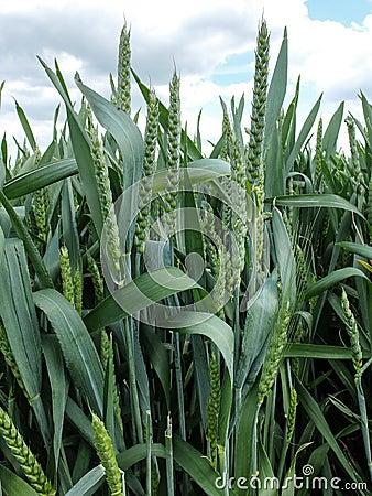 Free Green Wheat Ears Royalty Free Stock Photos - 43115898