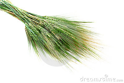 Green wheat ears isolated on white background