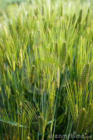Free Green Wheat Field Royalty Free Stock Photography - 14139857