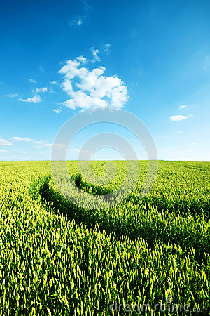 Green wheat field with tractor trails