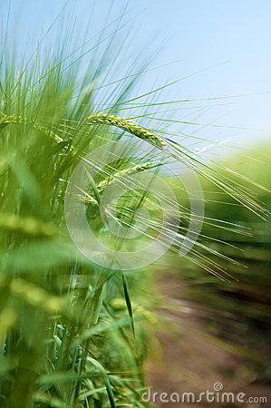 Green Wheat Filed Royalty Free Stock Photo - Image: 26428925