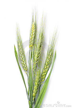 Free Green Wheat Isolated On White Royalty Free Stock Photos - 15011178