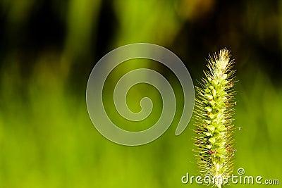 Green wheat plant macro