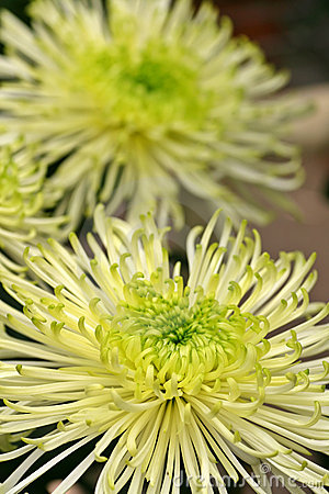 Green and White Dahlia