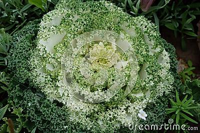 Green White Flowering Kale borecole Brassica olera