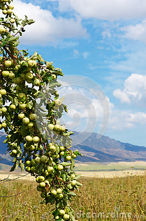 Green wild apples
