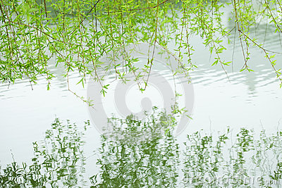 Green willow branch reflection in the water