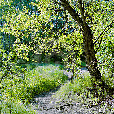 Green willow at the sunlit glade in spring forest