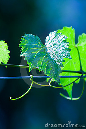 Free Green Wine Grape Leaf Royalty Free Stock Photo - 2791315