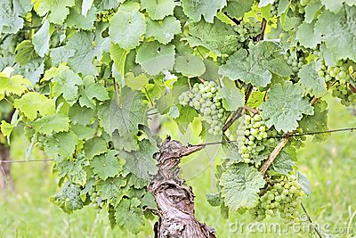 Green wine grapes