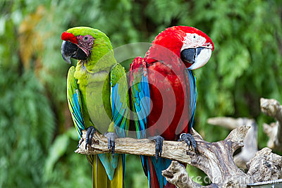 Green-Winged and Great Green macaws in the nature