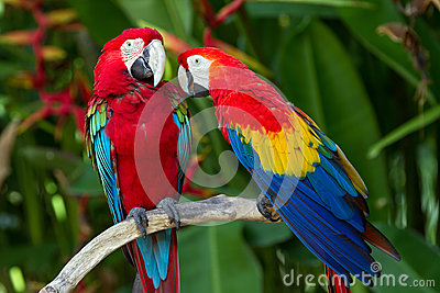 Green-Winged and Scarlet macaws in the nature