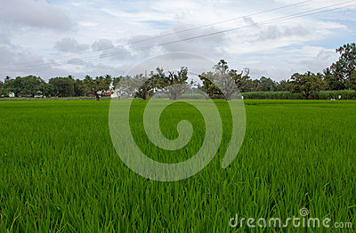 Green Wonder (Paddy Field)