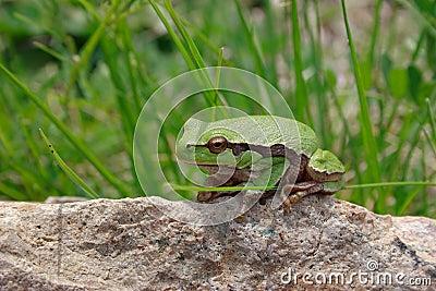 Green wood frog