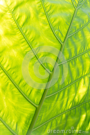 Green with yellow Caladium leaf2