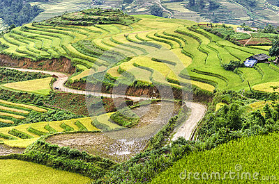 Green and yellow rice field terraces