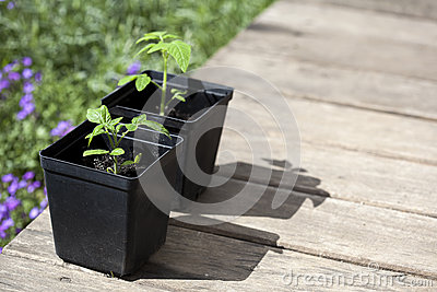 Green, young seedling tomatoes