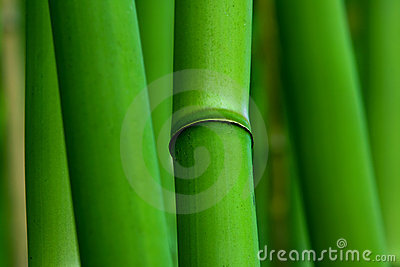 Green Zen Bamboo Plants