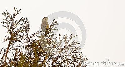 Greenfinch on bush