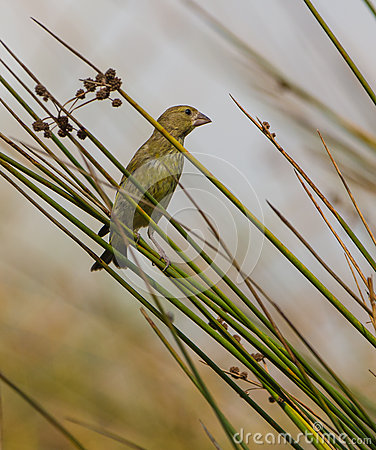 A Greenfinch on the reed