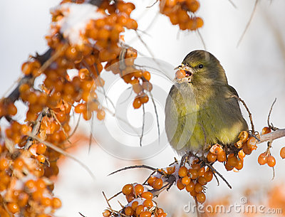 Greenfinch on Sea-buckthorn