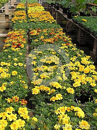 Greenhouse Beauties