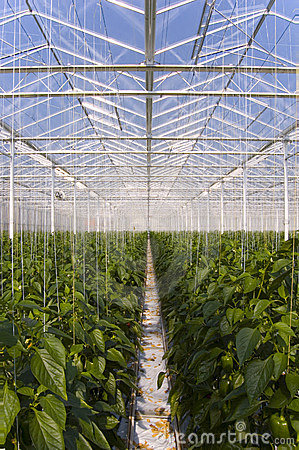 Greenhouse pepper plants
