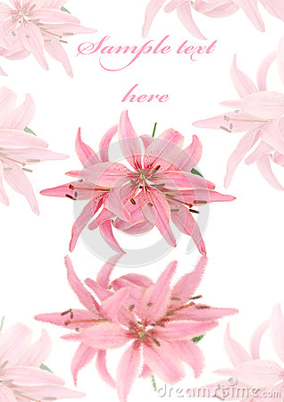 Greeting card with pink soft lily isolated