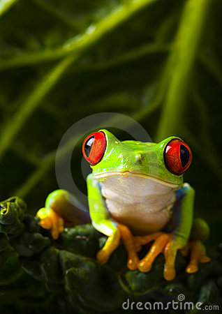 Free Gren Frog Royalty Free Stock Photos - 1890768
