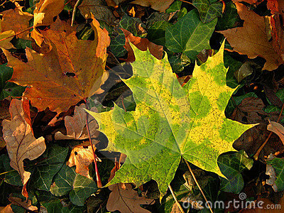 Gren and yellow autumn leaves