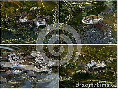 Grenouilles avec le frai dans un étang