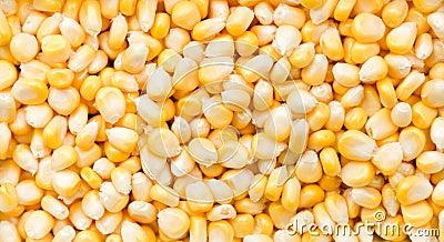 Grões do milho