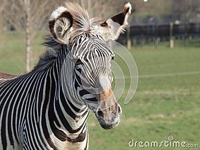 Grevy s Zebra