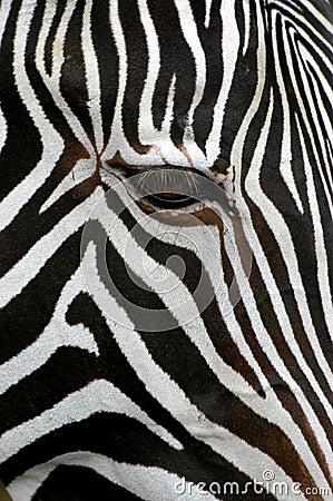 Free Grevy S Zebra Stock Photos - 495153