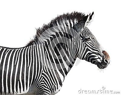 Grevy s zebra closeup cutout