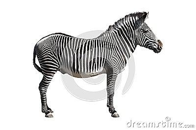 Grevy s zebra cutout